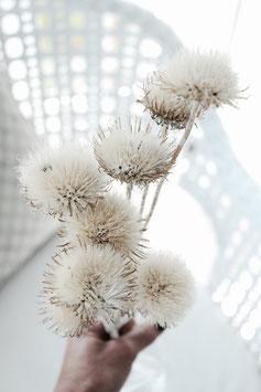 Trockenblume Distel natur
