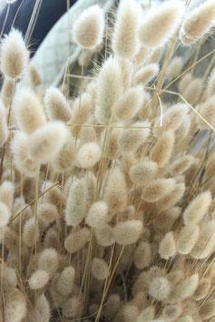 Trockenblume Lagurus natur