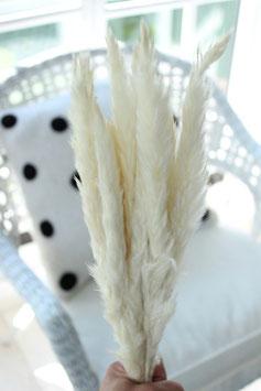 Trockenblume bleached Fluffy Pampasgras