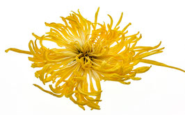 """Goldene Fäden""-Chrysantheme"