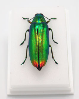 Chrysochroa fulminans in box
