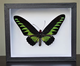 Brooke's birdwing