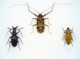 Beetle trio in glass frame