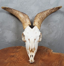 Goat skull with lower jaw