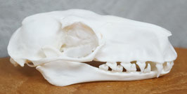 Hammer-headed bat skull