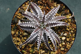 Dyckia 'Larry The Chopper'