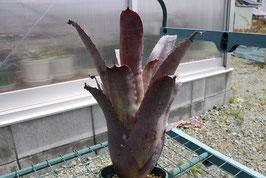 Hohenbergia Leopoldo horstii × Aec 'Roberto Menescal'