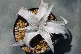 Dyckia ml v. estevesii    Dutch Vandervort clone