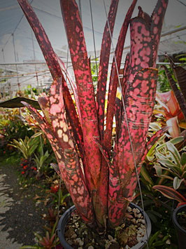 Billbergia 'Incendiary Delight'    DM系