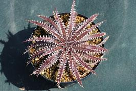 Dyckia 'Purple Red Silver'