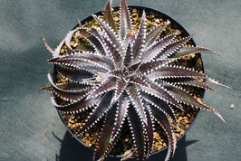 Dyckia 'Arizona'