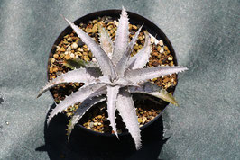 Dyckia 'Ice'