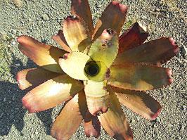 Neoregelia carchardon 'Spines'