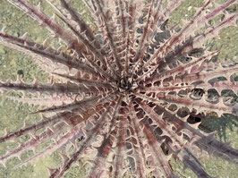 Dyckia Mercury F2 No.24× Distortionの新鮮な種子30粒