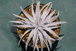 Dyckia 'Shock Spine'