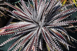 Dyckia 'Heaven & Hell'    No.2