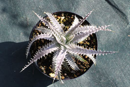 Dyckia 'Distortion'