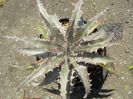 Dyckia 'Cat Fight'