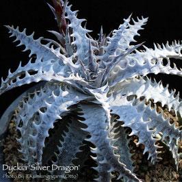 Dyckia 'Silver Dragon'