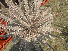 Dyckia Frozen × Distortionの新鮮な種子30粒