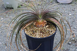 Dyckia estevesii