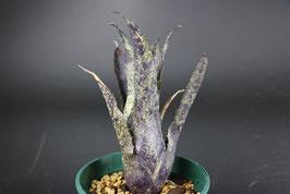 Hohenbergia Leopoldo-horstii × sp.357
