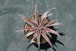 Dyckia 'Jaws'