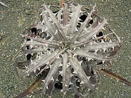 Dyckia goehringii  Special Spines