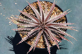 Dyckia 'Purple Red Silver'