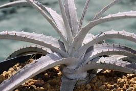 Dyckia pottiorum white