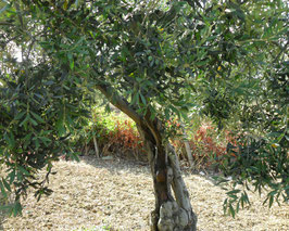 Patenschaft für Olivenbaum