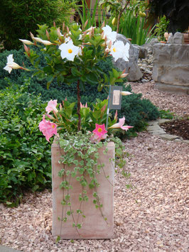 Dipladenia Blumenarragement mit Terracotta Pflanztopf