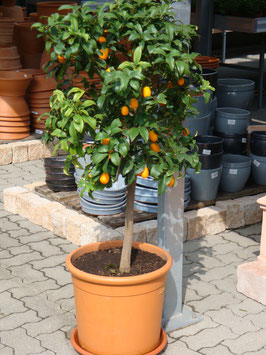 Orange Kumquat Stamm
