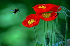 Hummel sieht rot – Anflug von Mohnblumen, Horw, Luzern, CH