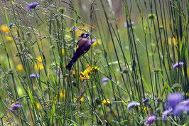 Distelfink in Wildblumenwiese