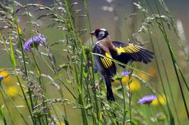 Distelfink auf «Hochseilakt» im Grass, Kriens, Luzern, CH