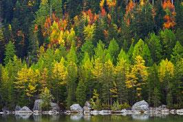 «Fichtenwald im Herbstgewand», am Lac de Derborence,  Conthey, Wallis, CH