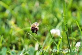 «Fleissige Biene» auf der Arbeit, Cham am Zugersee, Zug, CH
