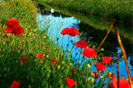 Schwimmen im Blumenmeer, Schwimmender Schwan, Punta Sabbioni, Venedig, IT