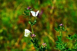 Blütentanz zweier Kohlweisslinge, Sarnen, Obwalden, CH