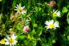 Die Wiese lacht,  Frühlingswiese, Horw, Luzern, CH