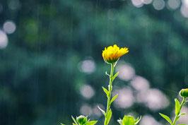 Regen macht schön, Ringelblume im Sommerregen, Horw, Luzern, CH