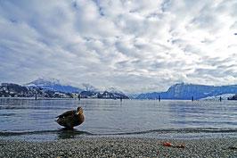 «Stockenten-Perspektive», Stockente am Ufers des Vierwaldtstättersee, Tribschenbadi, Luzern, CH