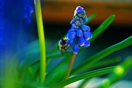 Farbenpracht – leicht gemacht! – Biene auf «Hyazinthe», Horw, Luzern, CH