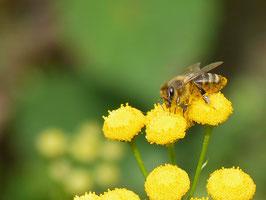 Bienenweiden-Grundpaket mit 15 m²