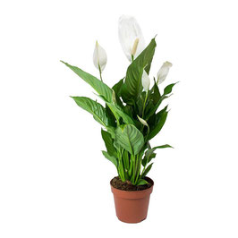 Spathiphyllum - Friedenslilie