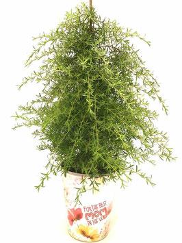 Kunzea ericoides - Teebaum