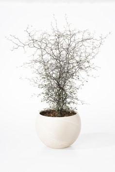Corokia cotoneaster in der Kugelschale