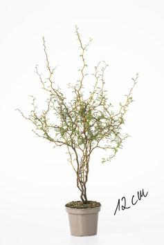 Japanischer Schnurbaum - Sophora prostrata