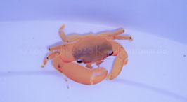 Acropora Krabbe Trapezia Arten